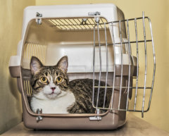 cat in airline carrier